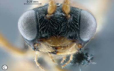 'Madiba' and 'Tutu' honored in naming of new wasp species