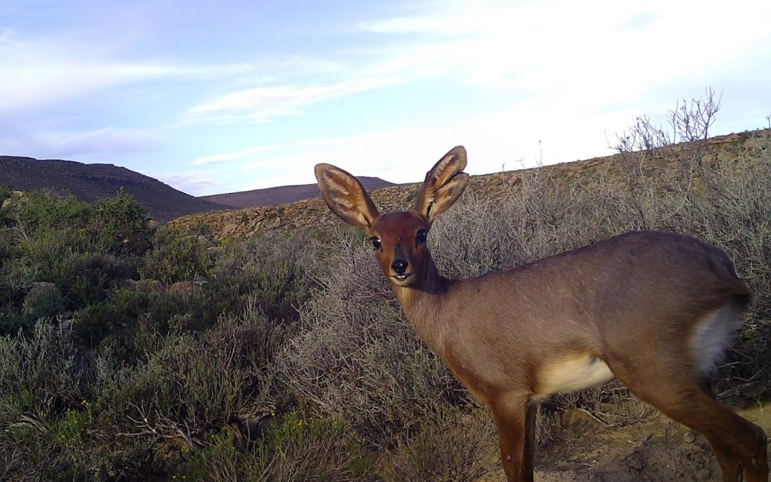 Karoo BioGaps: Mammal team wraps up operations