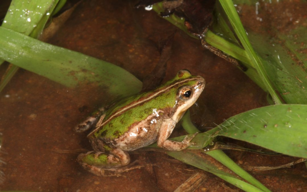 Study 'flips the script' on SA frog parasites
