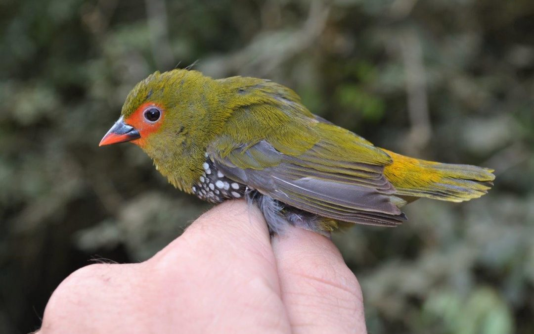 Bark harvesting in Eastern Cape forests impacting forest birds