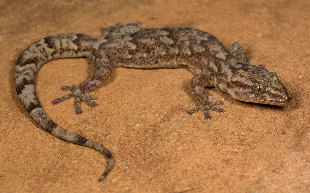 'Hidden' cryptic species revealed within forest gecko