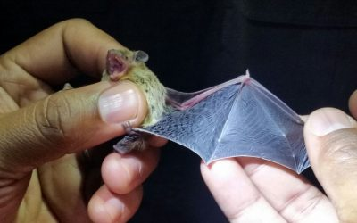 'Acoustic detection' sheds light on bat diversity in northern SA