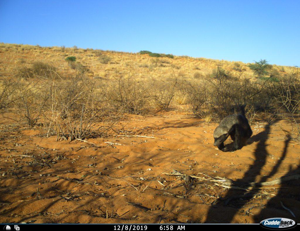 honey badger snapshot safari