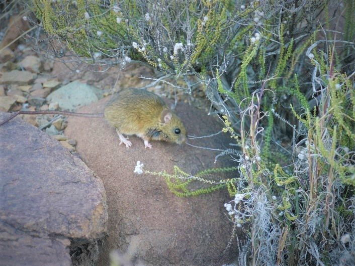 namaqua rock mouse