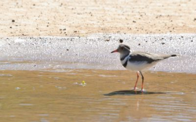 Can fracking and birdlife coexist in the Karoo?