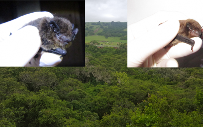 Bat gene flow despite forest fragmentation, SA study finds