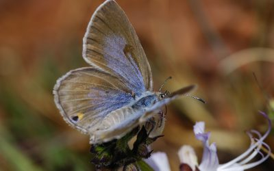 Flapping in arid air: South Africa's Karoo butterflies