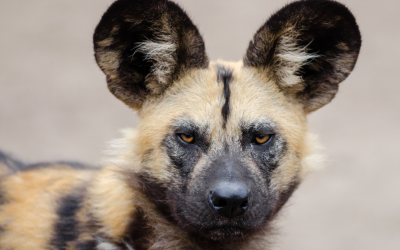 African wild dog populations gnawed by blood parasites